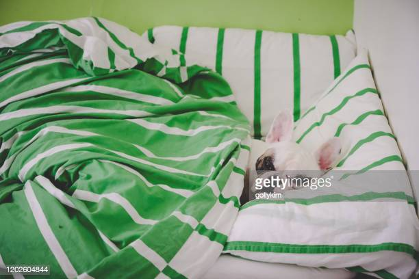 french bulldog lying in bed, can't wake up in the morning - french bulldog stock pictures, royalty-free photos & images
