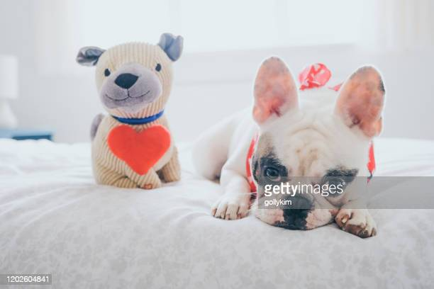 french bulldog lying in bed with her valentine's gift, a pug soft toy - cute stock pictures, royalty-free photos & images