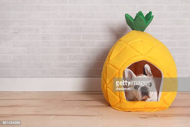 french bulldog lying in his bed shaped like pineapple - pet bed stock pictures, royalty-free photos & images