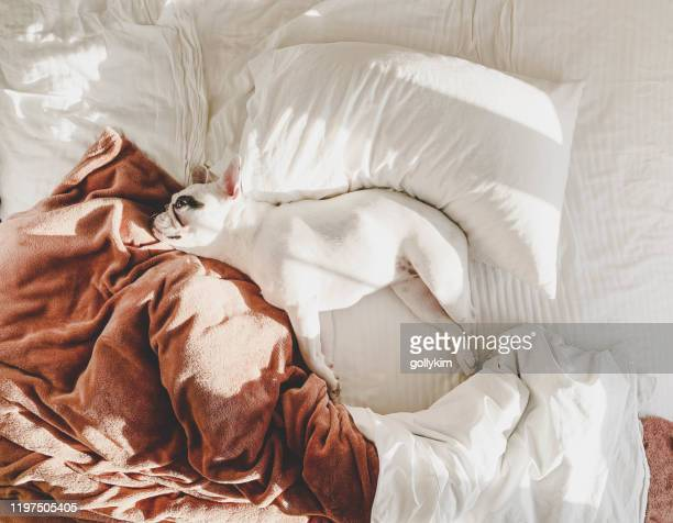 french bulldog lying on a comfortable bed - lying on side stock pictures, royalty-free photos & images