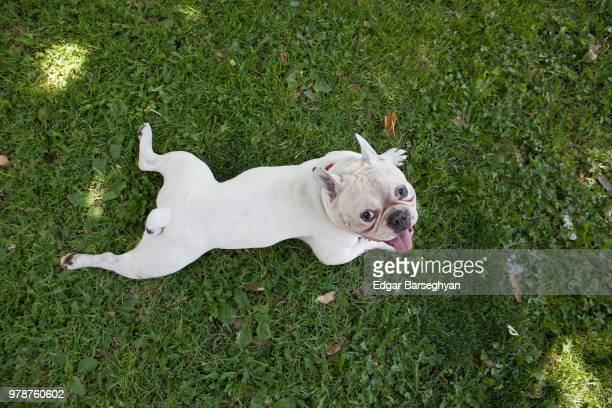 french bulldog lying on grass - french bulldog stock pictures, royalty-free photos & images
