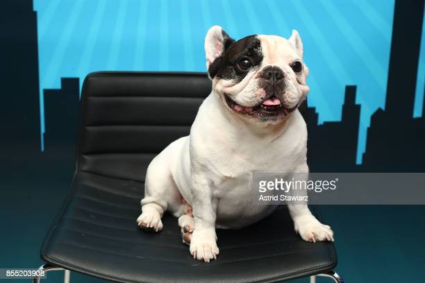 French bulldog 'Manny The Frenchie' attends Time Inc's PetHero Pet Party to benefit animals impacted by the recent hurricanes at 225 Liberty on...