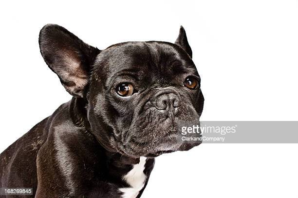 French Bulldog Named Arthur on White Backdrop