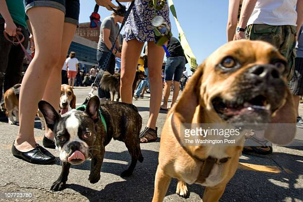 """French bulldog named """"Henry"""" and """"Stryker"""" the puggle hang out with their owners at the H Street Festival today in Washington, DC on September 18,..."""