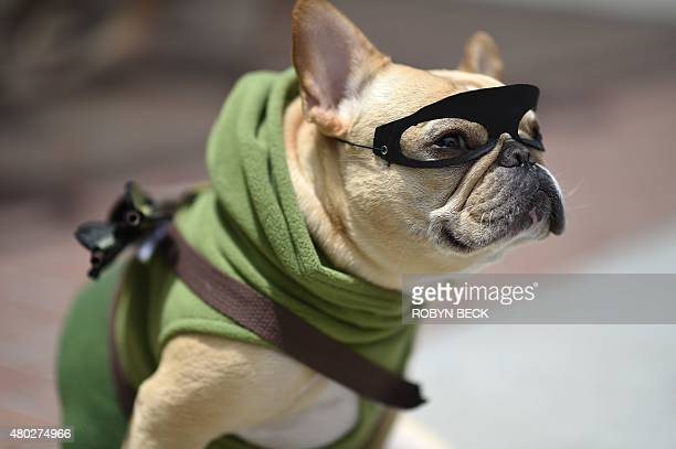 French bulldog Ollie is dressed as the superhero The Arrow outside the San Diego Convention Center at Comic Con International 2015 in San Diego on...