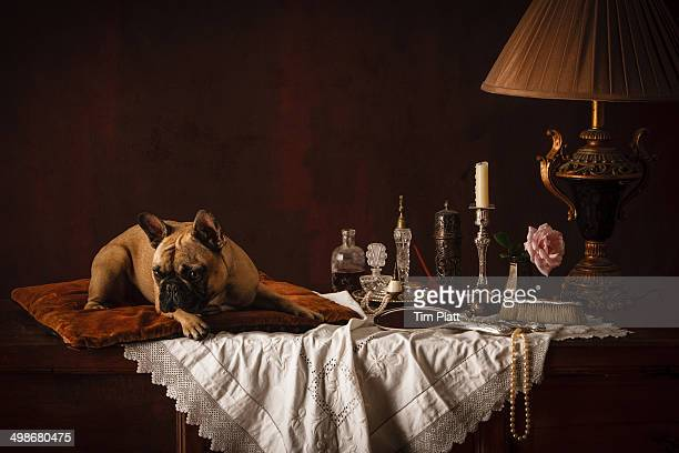 French Bulldog on a cushion on a dressing table.