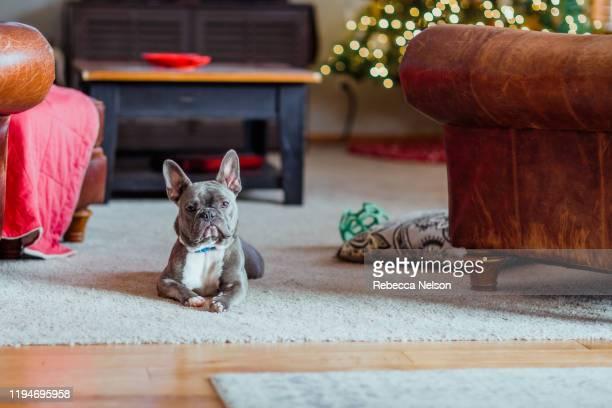 french bulldog on floor in front of christmas tree - 首をかしげる ストックフォトと画像