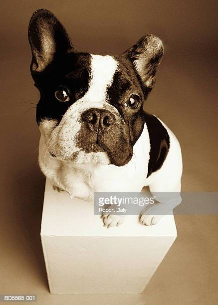 French bulldog on pedestal (toned B&W)