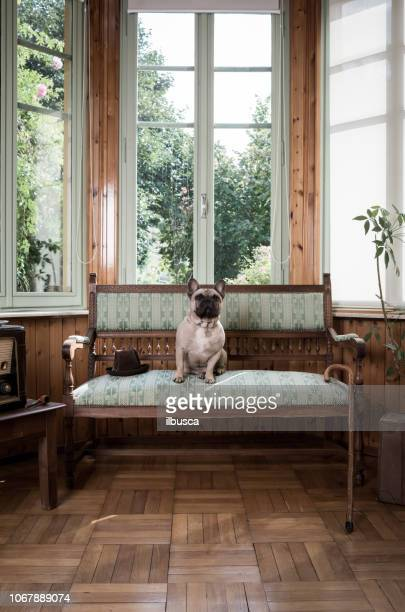 French bulldog on vintage armchair
