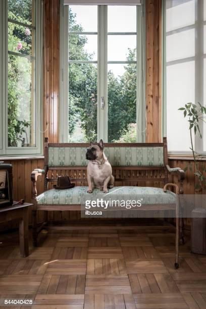 French bulldog on vintage armchair