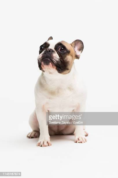 french bulldog on white background - french bulldog stock pictures, royalty-free photos & images