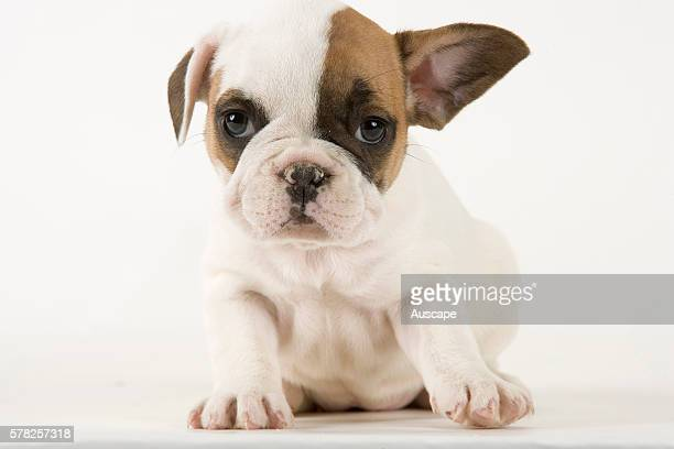 French bulldog or Bouledogue franais Canis familiaris puppy face half brown half white studio photograph