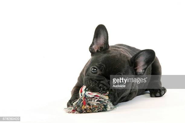 French bulldog or Bouledogue franais Canis familiaris puppy playing with chew toy studio photograph