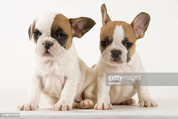 French bulldog or Bouledogue franais Canis familiaris two puppies studio shot