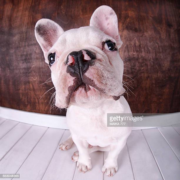 French bulldog photographed with fisheye lens