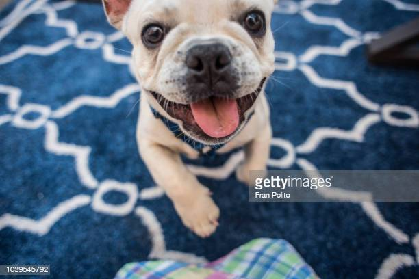 french bulldog. - puppy stock pictures, royalty-free photos & images