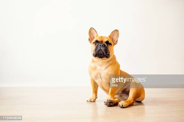 french bulldog - french bulldog stock pictures, royalty-free photos & images