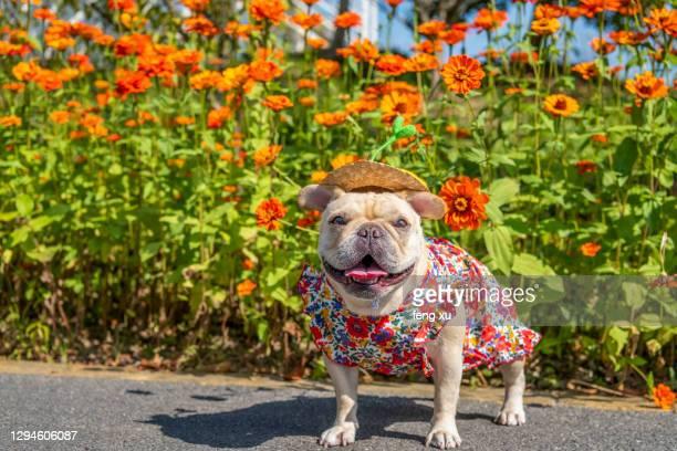 french bulldog - bulldog frances imagens e fotografias de stock