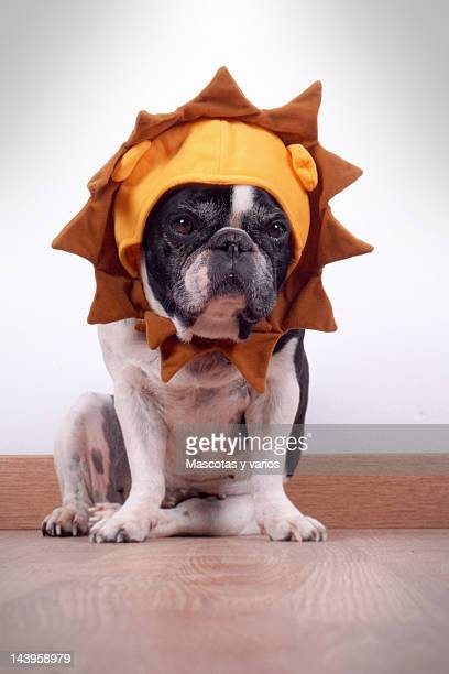 french bulldog - lion feline stock pictures, royalty-free photos & images