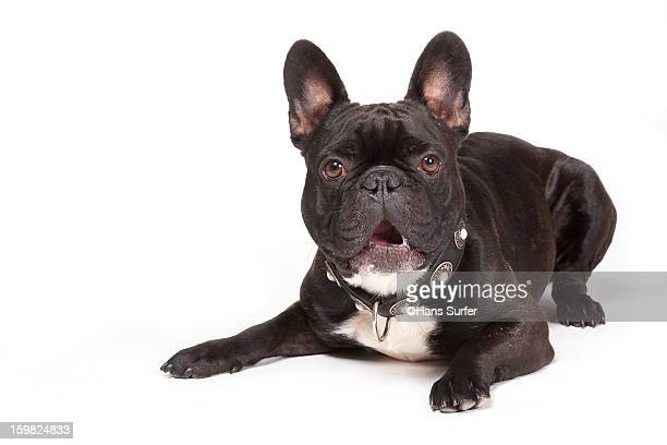 french bulldog! - french bulldog stock pictures, royalty-free photos & images