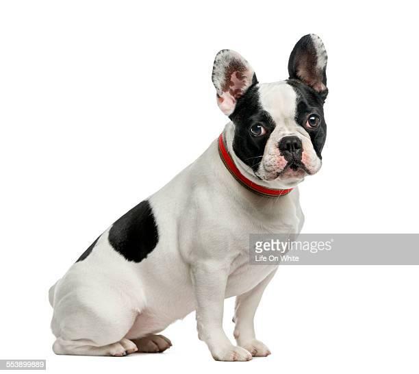 French Bulldog (1 year old)