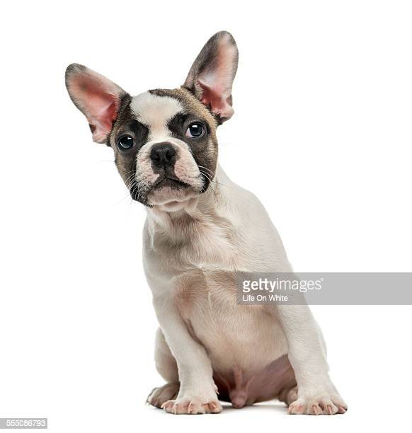 French Bulldog (3 months old)