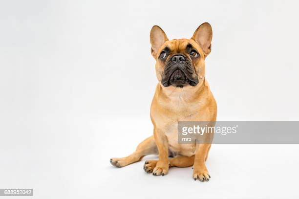french bulldog - dog stock pictures, royalty-free photos & images