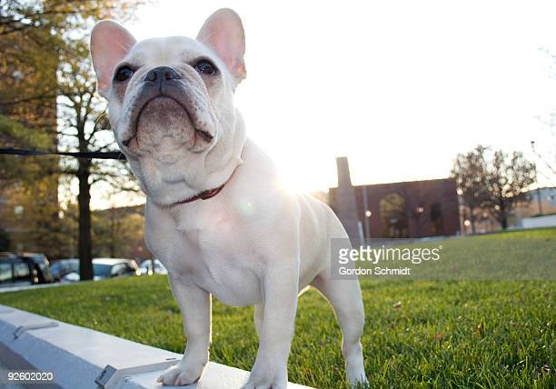 french bulldog - arlington virginia stock pictures, royalty-free photos & images