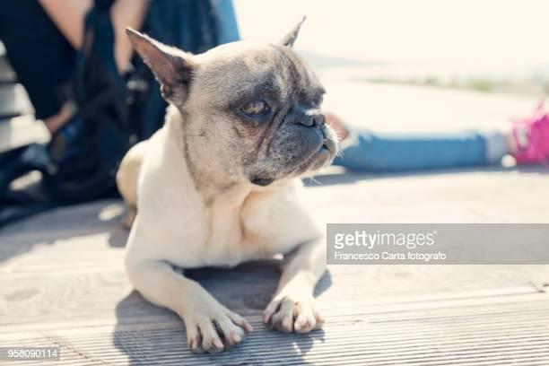 french bulldog - tempio pausania stock pictures, royalty-free photos & images