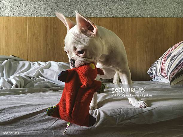 French Bulldog Playing With Toy On Bed
