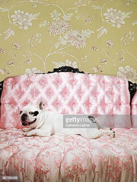 french bulldog portrait on chair with wallpaper - pampered pets stock pictures, royalty-free photos & images