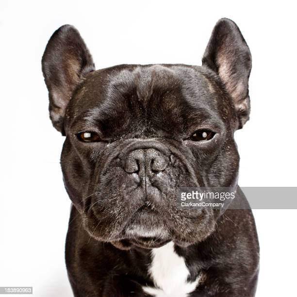 French Bulldog Portrait White Background