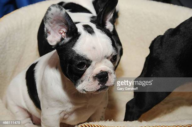 French Bulldog pup seen during the American Kennel Club's Most Popular Breeds 2013 press conference on January 31 2014 in New York City