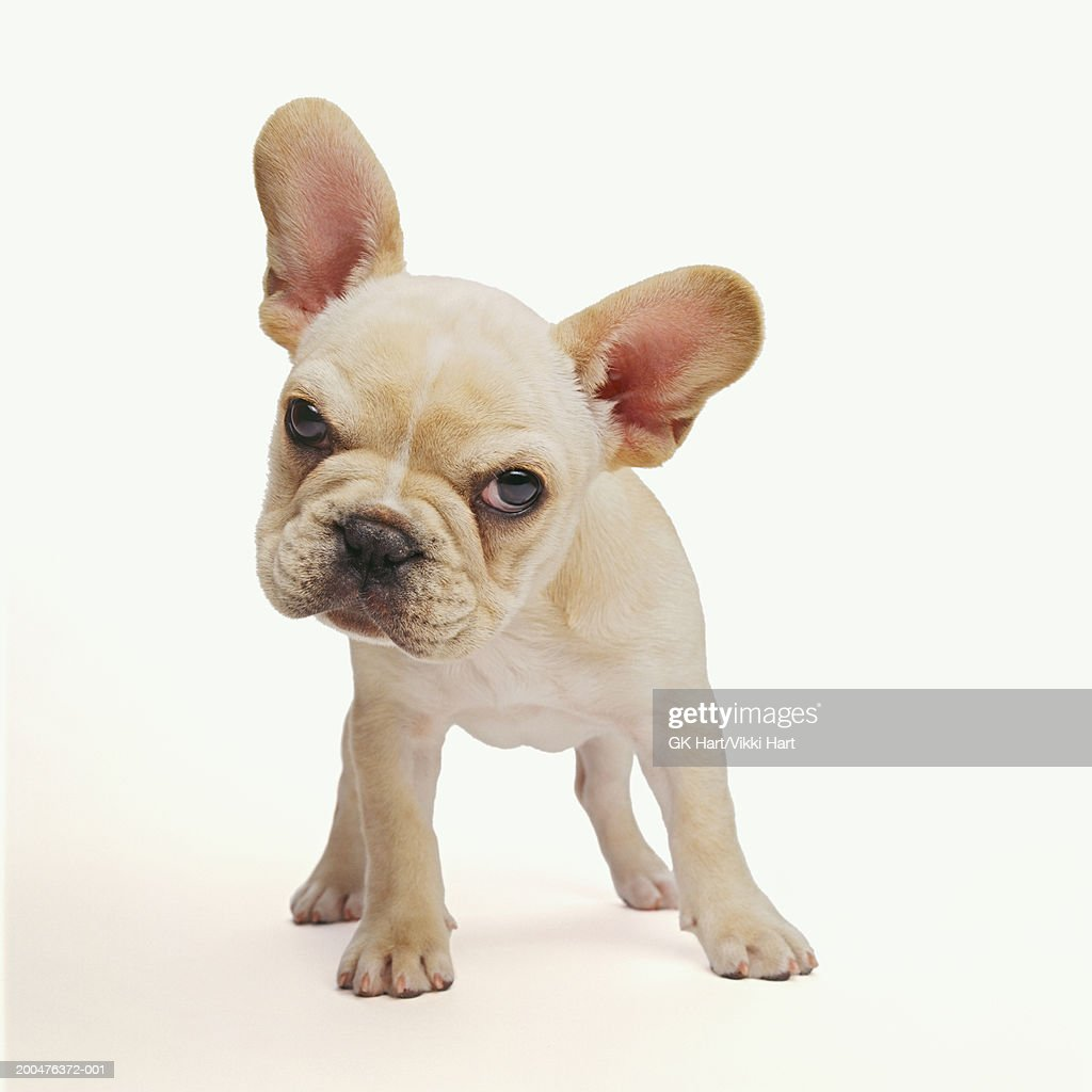 French bulldog puppy against white background, close-up : Foto de stock