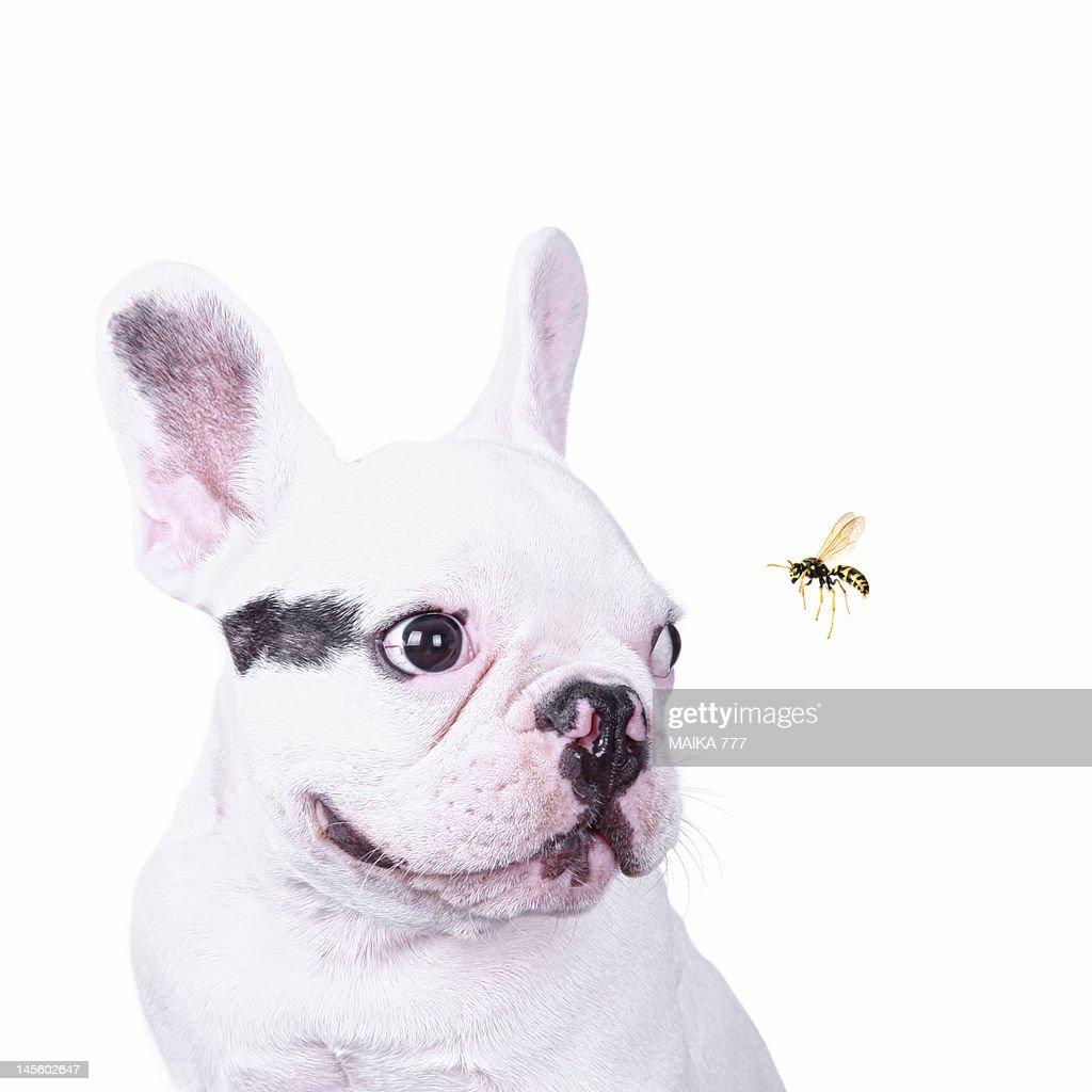 French bulldog puppy and honey bee : Stock Photo