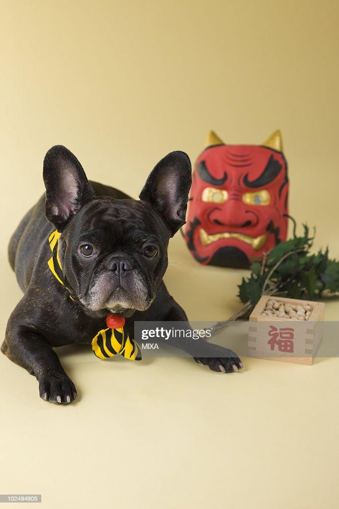 French Bulldog Puppy and Setsubun : Stock-Foto