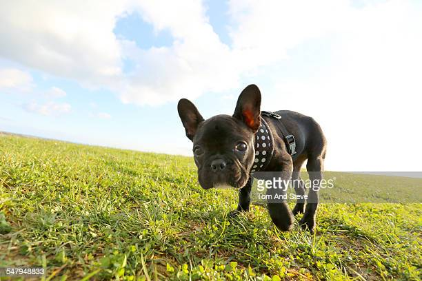 French bulldog puppy exploring off lead in a field