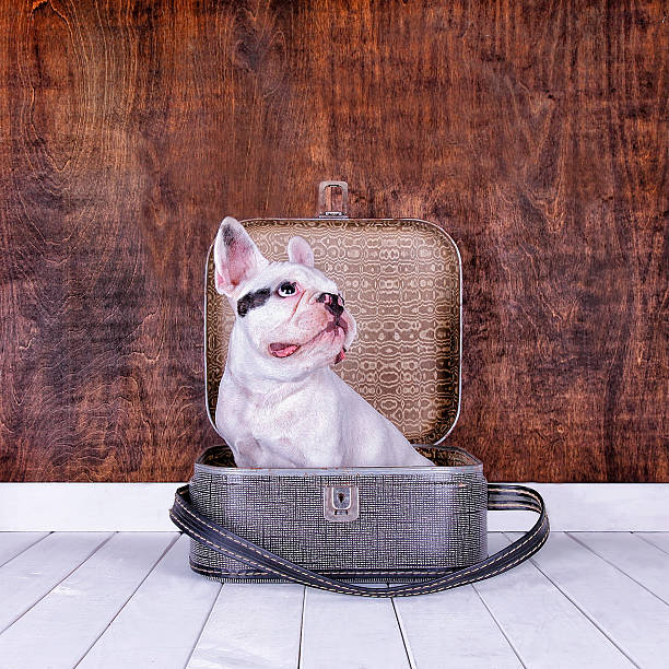 French Bulldog Puppy Inside An Old Suitcase Wall Art