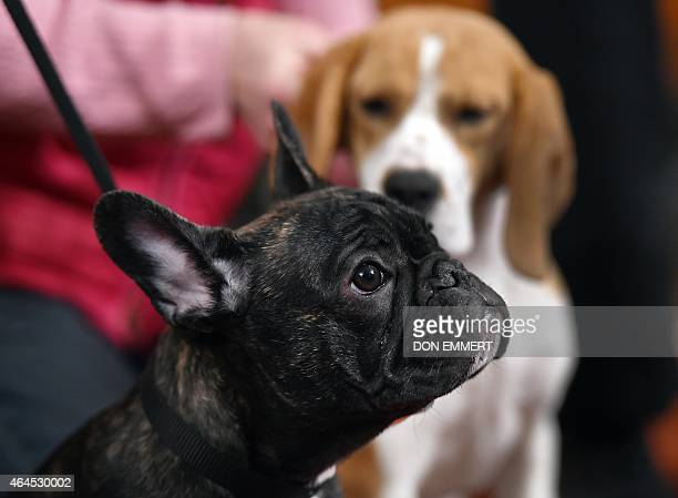 French Bulldog puppy Louis attends the American Kennel Club's annoucement of the Top Breeds of 2014 at a news conference February 26 2015 in New York...