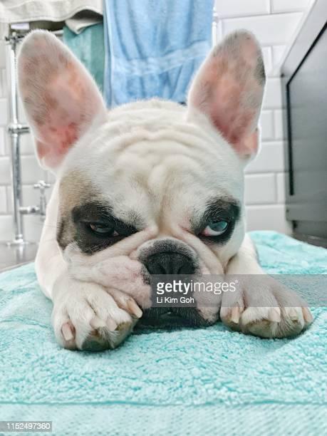French Bulldog puppy lying on bath mat next to bath tub