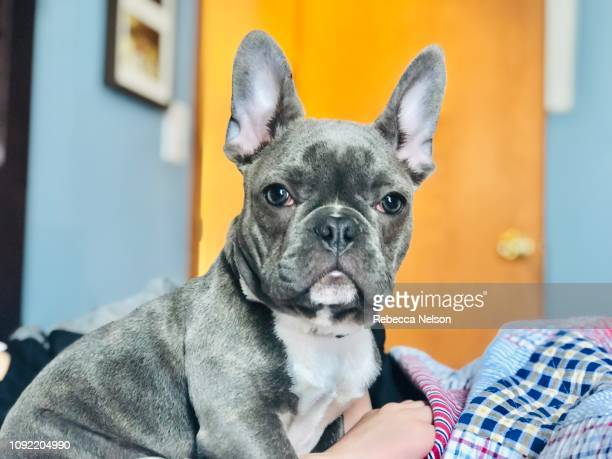 french bulldog puppy on bed - lap dog stock pictures, royalty-free photos & images