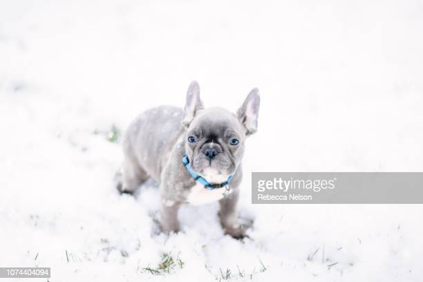 french bulldog puppy outside during first snowfall