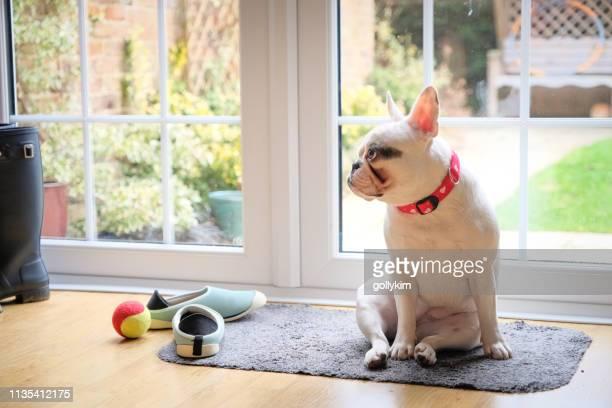 filhote de cachorro francês do bulldog que espera pacientemente pela porta para sair - buldogue francês - fotografias e filmes do acervo