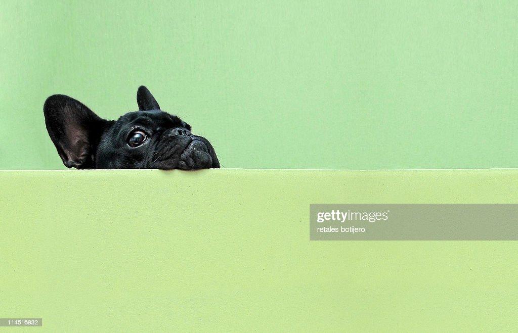 French bulldog puppy : Foto de stock