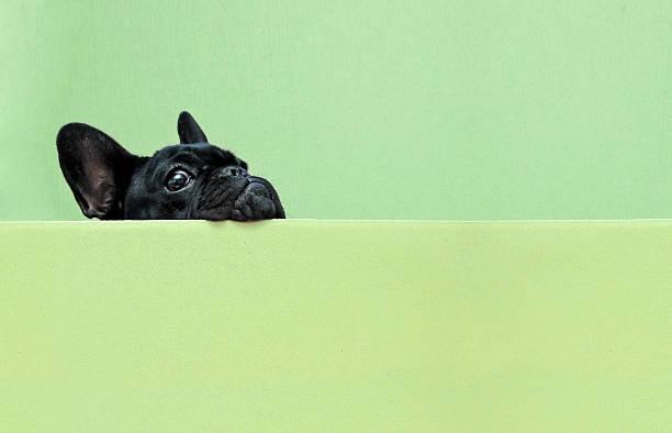 French Bulldog Puppy Wall Art