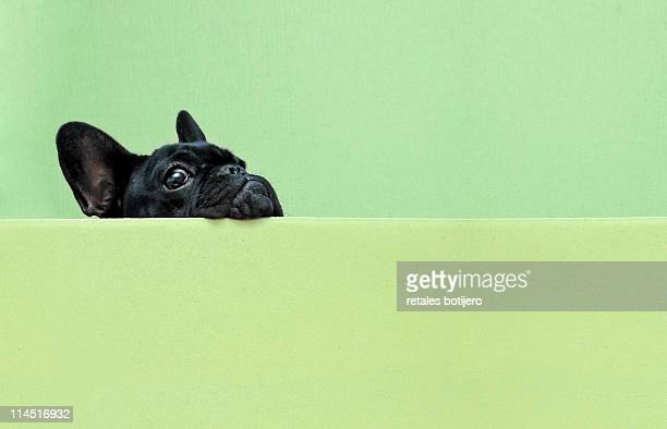french bulldog puppy - curiosity stock pictures, royalty-free photos & images