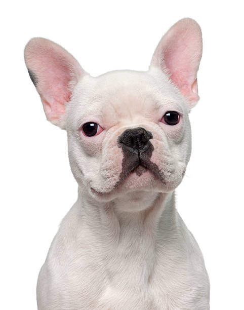 French Bulldog Puppy (5 Months Old) Wall Art
