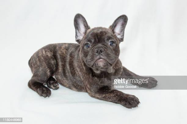 french bulldog puppy - french bulldog stock pictures, royalty-free photos & images