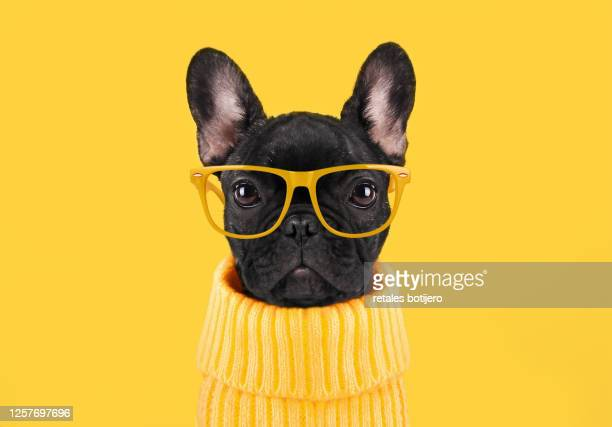 french bulldog puppy - yellow stock pictures, royalty-free photos & images