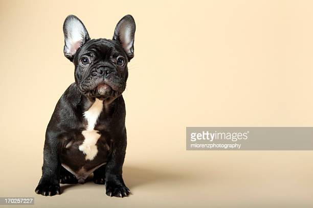 French Bulldog Stock Photos And Pictures